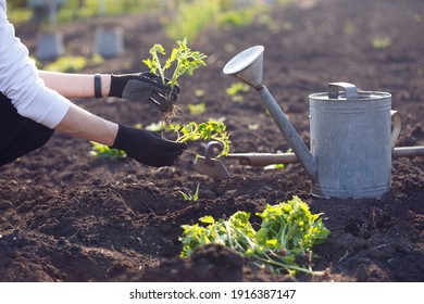 Planting tomato seedlings in the garden - hands holding a seedling, watering can and shovel in the background