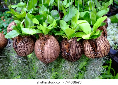 Planting the tree in the coir hanging for decoration
