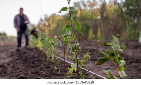 Planting trees, plum rootstock in a row with a shovel