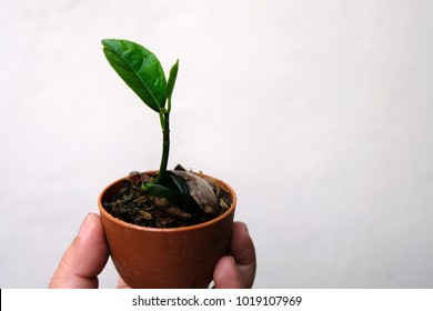 Planting trees Seed propagation, Is a jackfruit Planted into a small pot, The leaves are gradually growing, using the handle to clearly see.