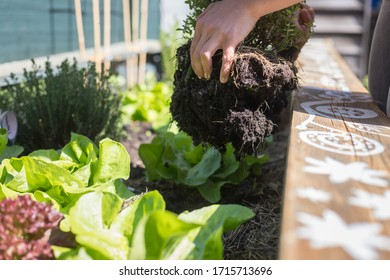 Planting vegetables and herbs in raised bed. Fresh plants and soil.