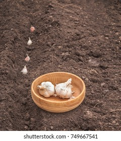Planting winter garlic on a bed
