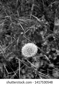 Plants: Black and white shot of the seed head of an European dandelion plant