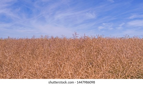 Plants / Brahmenau / Germany: View over a ripe rapeseed field just before harvest on a sunny day in July