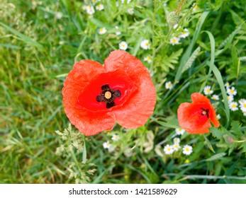 Plants: Closeup of a common poppy flower in a cornfield in June