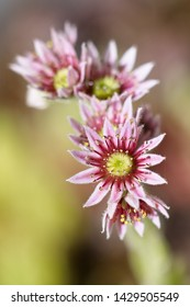 Plants: Closeup shot of a flowering sempervivum plant