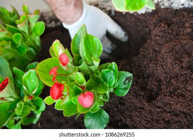 Plants of cyclamen an hand of gardener