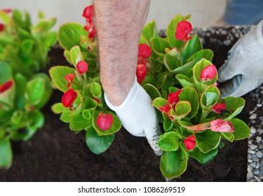 Plants of cyclamen and hands of gardener