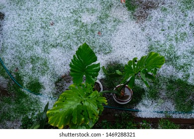 Plants damaged by hail. Ground covered in hailstones.