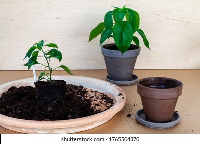 Plants during repotting. New flowerpots for plants. Home gardening, young chili plants. Wooden background.