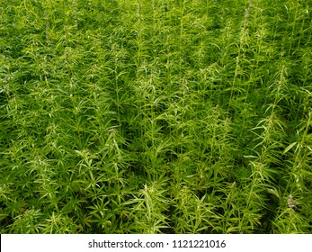 Plants: At the edge of an industrial hemp field in Eastern Thuringia