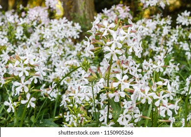 Plants with flowers. Bouncing bet, fuller's herb, soapwort. Saponaria officinalis.