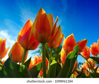 Plants and flowers: orange tulips on flowerbed, low-angle view, bright blue sky at background