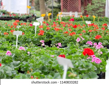 plants of geranium ready for sale