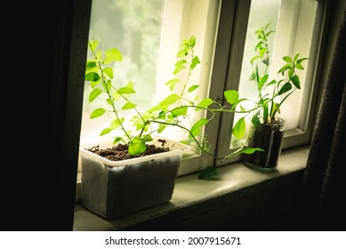 Plants with green leaves growing from organic soil in different reused boho hipster flowerpots in a cozy rural rustic windowsill with spring sunlight shining through the vintage window