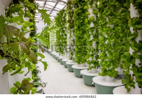 Plants growing at an aeroponic food farm