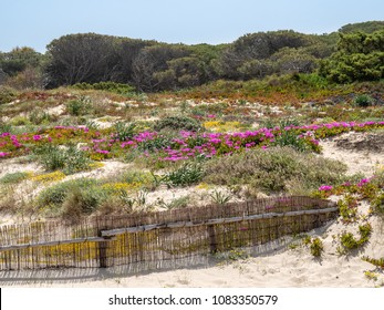 Plants growing in sand dunes above the beach in northwest Sardinia