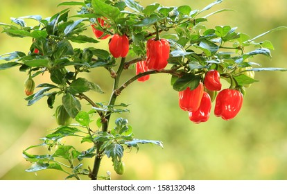 Plants of habanero scotch bonnet chili pepper with fruit, in the garden