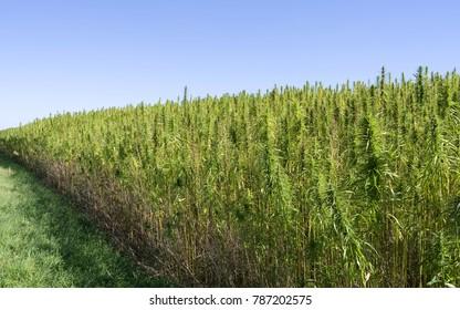 Plants: Industrial hemp field in Eastern Thuringia