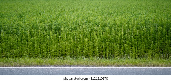 Plants: Industrial hemp field at the edge of an asphalted country road in Eastern Thuringia