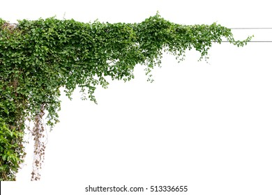 Plants ivy. Vines on poles on white background