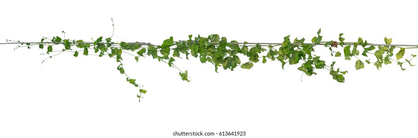 Plants ivy,  Wild climbing vine on electric wire on white background, clipping path.