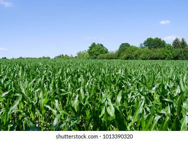 Plants:  Maize field in the rural Altenburg county in Eastern Thuringia in June