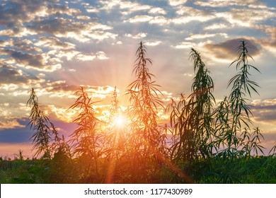Plants of meadows and fields - hemp, cannabis, marijuana.