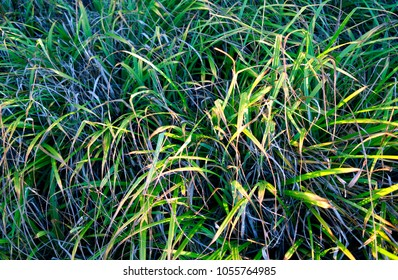 Plants: Miscanthus sinensis leaves shining bright in the deep winter sun