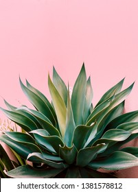 Plants on pink concept. Aloe. Canary island