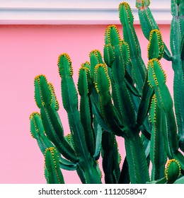 Plants on pink concept. Cactus on pink  wall background. Tropical fashion mood