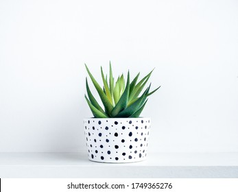Plants pot. Green succulent plant in modern white with black dots pattern colour painted concrete planter on shelf on white background.