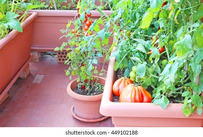 Plants of red tomatoes in the garden urban vase on a terrace of an apartment
