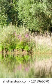 Plants are reflected from the lake's water surface. Lake landscape on a sunny summer day.