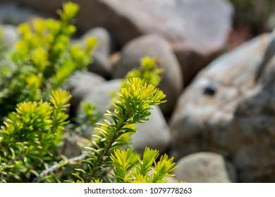Plants in the rock garden. White Erica carnea - winter heath, winter flowering heather, spring heath, alpine heath in the alpine garden.