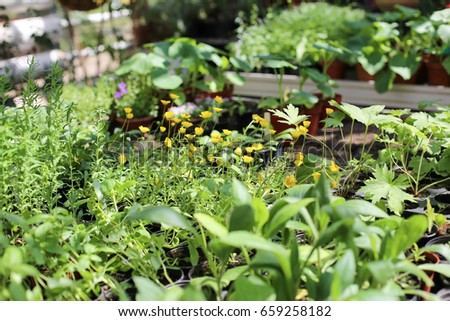 Plants and rootstock in a greenhouse
