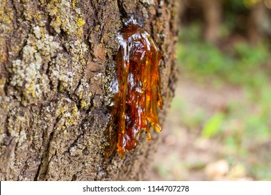 Plants secrete resins and rosins for their protective benefits in response to injury. The resin protects the plant from insects and pathogens. Resins confound a wide range of herbivores and insects.