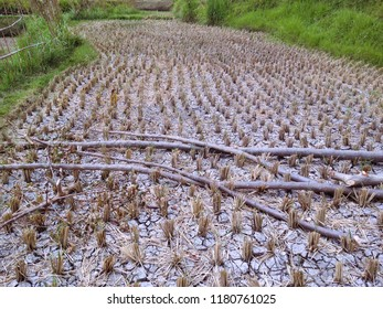 The Plants That Grow In The Rice Field Area Are Cut Down, Ringdikit, Buleleng, North Bali, Indonesia