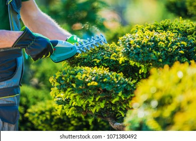 Plants Topiary Trimming by Cordless Trimmer. Closeup Photo. Professional Gardening Theme.