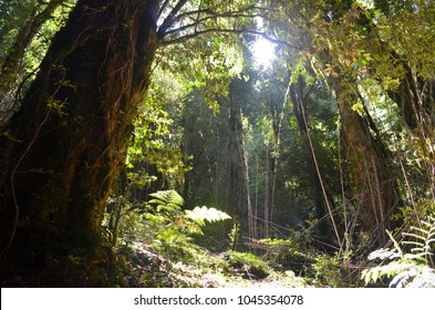 Plants of the Valdivian temperate rainforests in southern Chile (Chilean Patagonia)