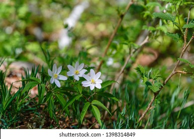 Plants with white flowers of Anemone of the forests. Anemone nemorosa. Wood anemone.