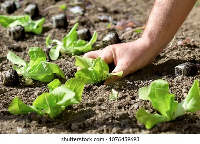 plants of young lettuce plants