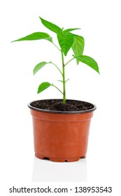 Plants of young paprika, in pot. on a white background