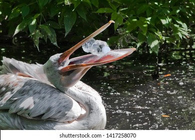 A plastic bottle in the mouth of a pelican bird (the problem of water pollution with plastic). Unhappy bird can swallow debris and die.