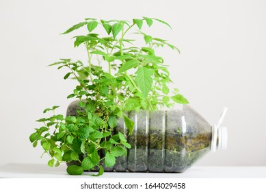 Plastic bottles water DIY for planting vegetable plant and decoration in garden, reuse and recycle concepts