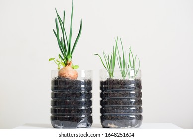 Plastic bottles water DIY for planting onion vegetables plant and decoration at home, reuse and recycle concepts