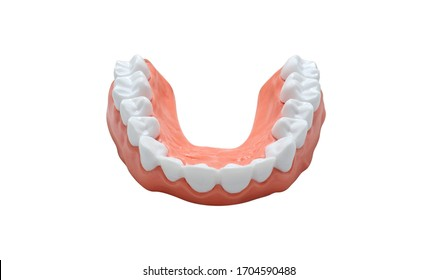 Plastic human tooth model for teaching dentistry for hospital patients or students in dental school, isolated on a white background, dental care concept