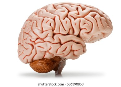 Plastic model of human brain, isolated