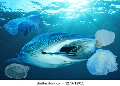 Plastic pollution in ocean. Whale Shark swimming through garbage