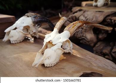 Plastic Resin Goats skull on wooden (skull model is made of plastic) for sale in market , selective focus